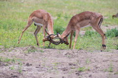 两个男性飞羚战斗为与最佳的疆土的牧群 库存图片