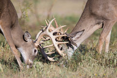 两个白尾鹿大型装配架战斗 免版税库存图片