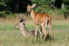 两个白尾鹿大型装配架 免版税库存图片