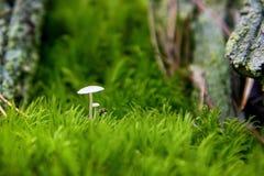 两个白色蘑菇宏指令在青苔的 免版税图库摄影