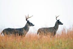 两个白被盯梢的鹿大型装配架 库存照片