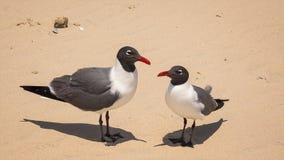 两个笑的鸥& x28; 鸥属atricilla& x29;在南帕德雷岛海滩 免版税库存照片