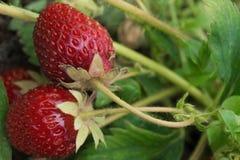 两个红色草莓在庭院里 库存照片