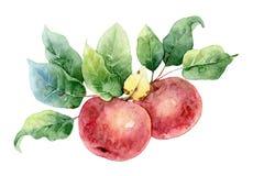 两个红色水彩苹果 免版税库存图片