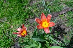 两个美丽的红色和黄色百合在豪华的绿草中在早期的春天开花,在一温暖的天 免版税库存图片