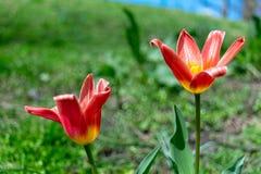 两个美丽的红色和黄色百合在豪华的绿草中在早期的春天开花,在一温暖的天 库存图片