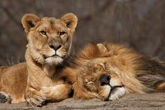 两个老狮子朋友 免版税图库摄影