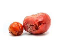 两个腐烂的蕃茄 库存图片