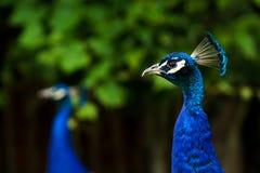 两个蓝色男性孔雀& x28的图象的顶头射击关闭; 孔雀座Cristatus 库存图片