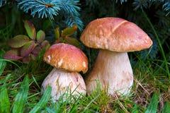 两个蘑菇牛肝菌蕈类在森林里 库存图片