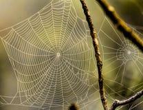 两个蜘蛛网升由阳光 免版税图库摄影