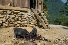 两个逗人喜爱的小猪在Sapa,越南 库存照片