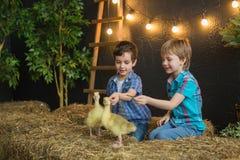 两个逗人喜爱的小男孩坐干草和戏剧用小的幼鹅 图库摄影