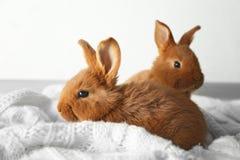 两个逗人喜爱的蓬松兔宝宝 免版税库存照片