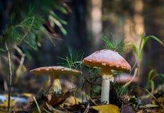 两个飞行伞形毒蕈蘑菇 库存图片