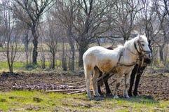 两个马和犁在春天乡下庭院里 库存图片