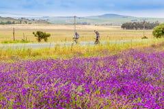 两个骑自行车者在西开普省的风景农田里乘坐过去领域 库存图片