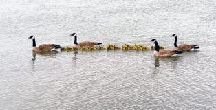 两个鹅家庭摇摆挤作一团鹅小鸡 免版税库存图片