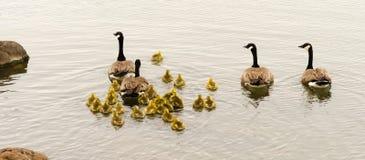 两个鹅家庭摇摆挤作一团鹅小鸡 免版税图库摄影