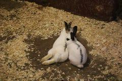 两个黑白婴孩兔宝宝 库存照片