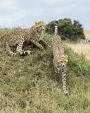 两个年轻人一个草覆盖的土墩,一躺下和一赛跑的猎豹上面特写镜头  免版税库存图片