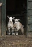 两个年轻人四只有角的山羊 库存照片