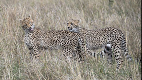 两个年轻人猎豹身分特写镜头sideview在高草重叠了,与一个舔在脖子 免版税库存图片