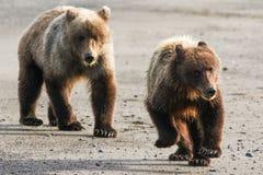 两个年轻人阿拉斯加布朗跑在海滩的北美灰熊 免版税库存图片