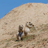 两个年轻人黑被盯梢的大草原土拨鼠(草原犬鼠Ludovicianus) 图库摄影