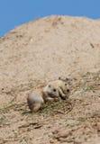 两个年轻人黑被盯梢的大草原土拨鼠(草原犬鼠Ludovicianus) 库存图片