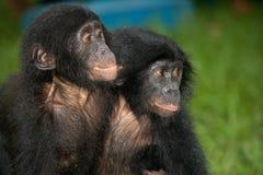两个婴孩倭黑猩猩坐草 刚果民主共和国 洛拉Ya倭黑猩猩国家公园 免版税库存照片