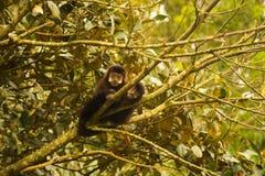 两个巴西人猴子-连斗帽女大衣小狗 库存照片