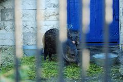 两个黑野公猪在动物园里 图库摄影