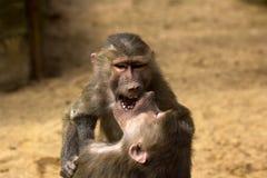 两个Hamadryas狒狒 免版税库存图片