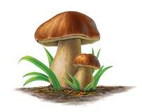 两个porcini蘑菇,可食的boleuts 库存图片