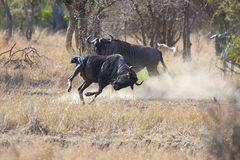 两为优势的蓝色角马斗牛在牧群 库存图片