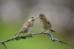 两争吵的Greenfinch 库存照片