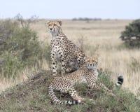 两休息在一个草覆盖的土墩顶部的成人猎豹特写镜头,一个坐和一个说谎 免版税图库摄影
