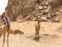 两休息在停车场的美丽的骆驼,止步不前与在热黄沙的小丘在沙漠在埃及反对含沙的石头 免版税库存图片
