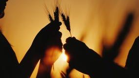 两位农夫的手握麦子,研究的耳朵在领域的五谷 免版税库存照片