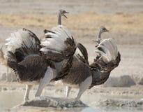 两位女性驼鸟 免版税图库摄影