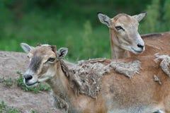 两位女性mouflon 库存照片
