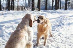 两使用与玩具的金毛猎犬 库存照片