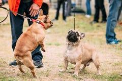 两使用在室外的滑稽的法国牛头犬狗 免版税库存图片