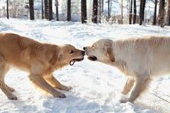两使用在雪的幼小金毛猎犬 免版税库存图片