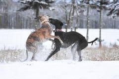 两使用在雪的Galgos 免版税库存图片