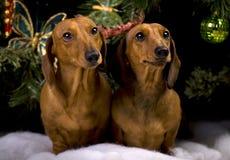两俏丽的小狗达克斯猎犬狗 库存照片