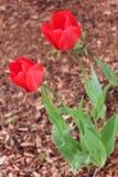 两充满活力的红色郁金香 库存照片