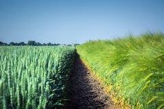 两光滑,干净的麦田和杂种大麦,分离由土壤稀薄的条纹,反对天空 库存图片