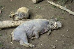 两公猪在新加坡动物园里 免版税库存图片